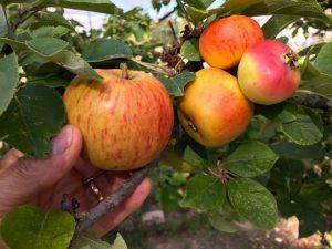 Différence de taille entre une pomme dont l'arbre a été éclairci (à gauche) et des fruits issus d'un arbre non éclairci (à droite)