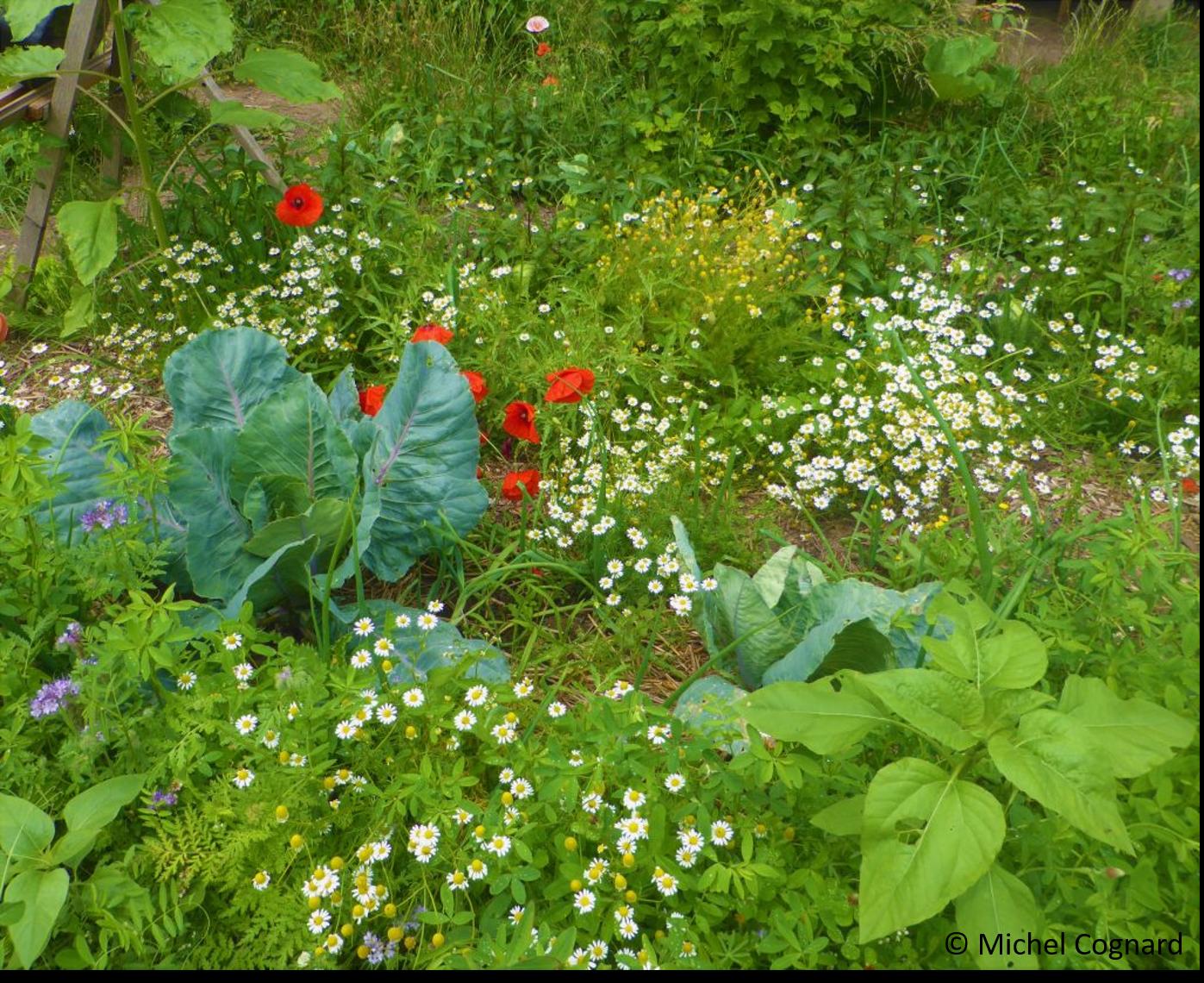 La biodiversité fleurie au jardin (© Michel Cognard).jpg