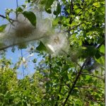 73-Cocon de chenilles sur prunus sauvage © C. Doucet