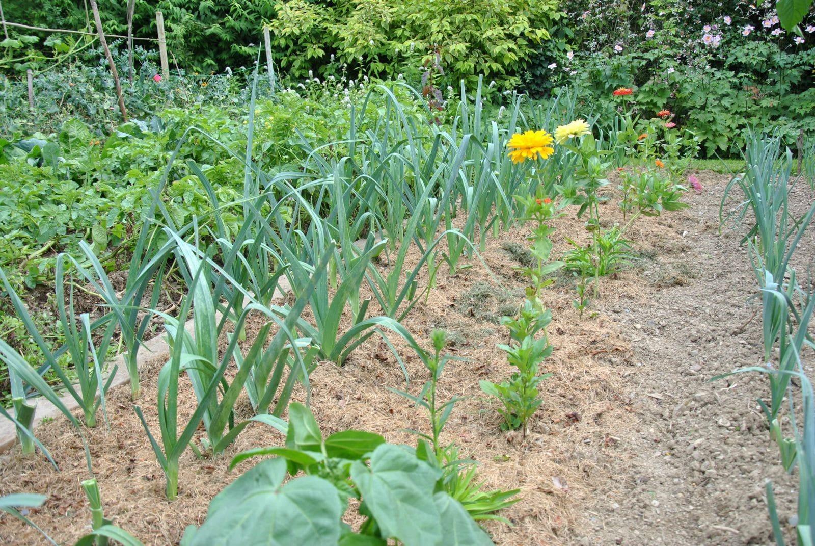 Plantes potagères recouvertes de paillage