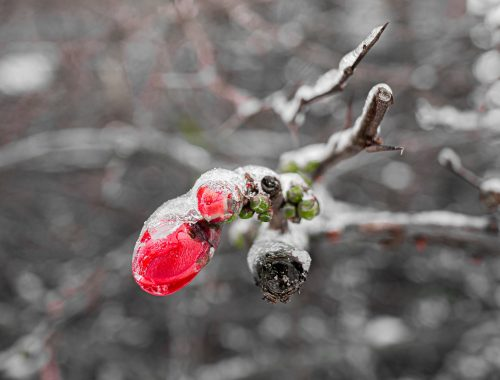 Bourgeon floral gelé