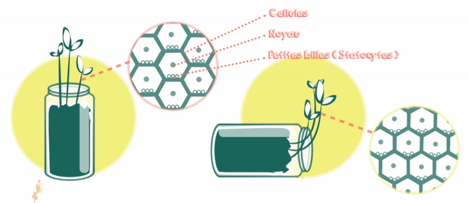 Le mécanisme du gravitropisme chez les plantes © Nina Luec www.loeil-de-nina.fr