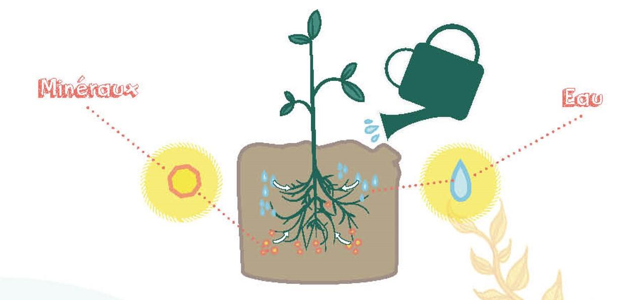 Le mécanisme d'absorption des minéraux chez les plantes © Nina Luec www.loeil-de-nina.fr