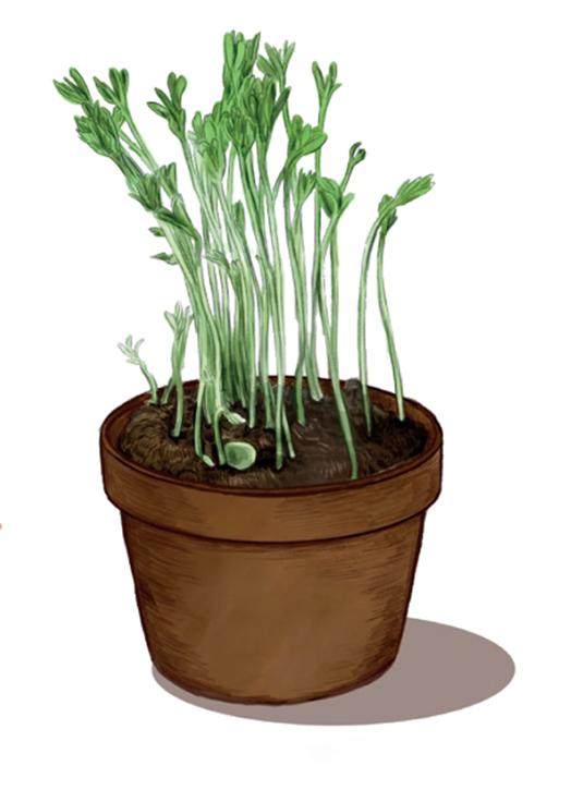 Illustration lentilles en pot pour expérience