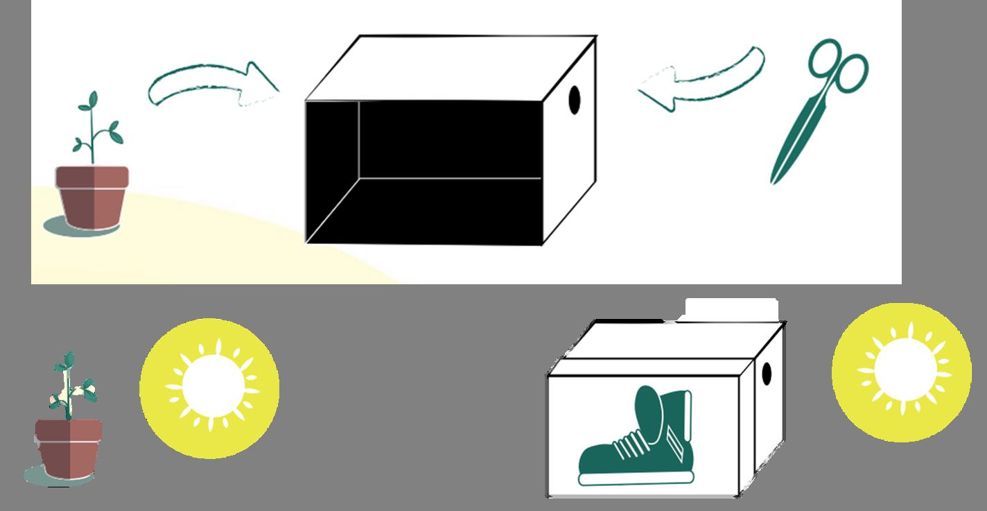 Schéma pour expéreince phototropisme avec les enfants