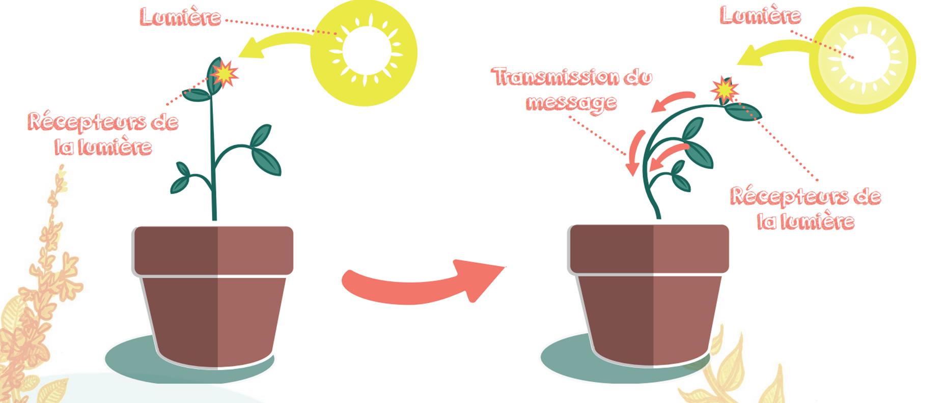 Schéma explication du phototropisme
